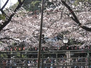 上野公園の桜(まだ5分咲き)