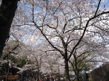 隅田公園の桜(クリックで拡大)