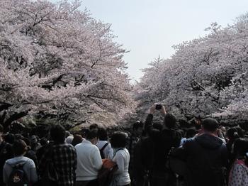 Ueno_cherryblossom